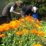 Girls Harvesting Calendula Flowers