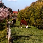 Calves in Tea Trees