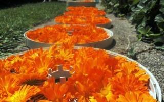 Sun-drying of Calendula Flowers