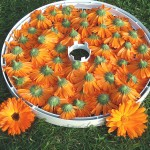 Sun-drying of Calendula Flowers