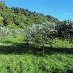 Feijoa Trees