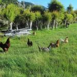 Hens in Tea Tree Paddock