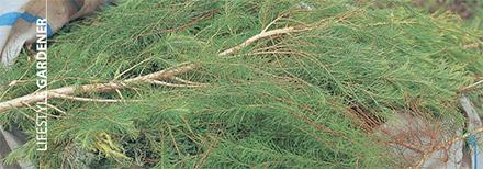 Harvested Melaleuca Branches