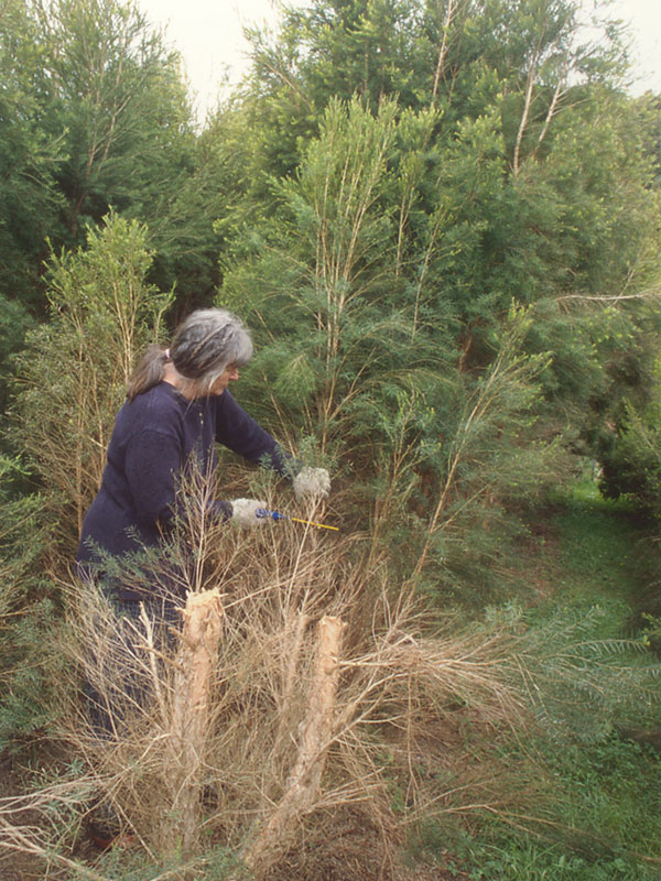 Margaret Harvesting Tea Tree