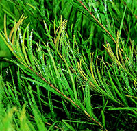 Melaleuca alternifolia Leaves