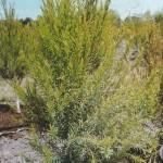 First Tea Tree Plants