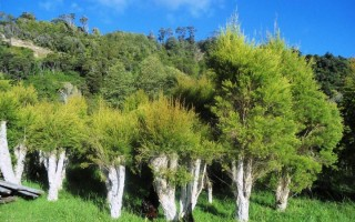 Tea Tree Regrowth