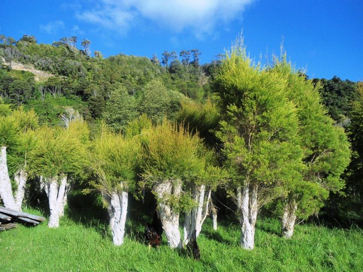 Tea Tree Regrowth